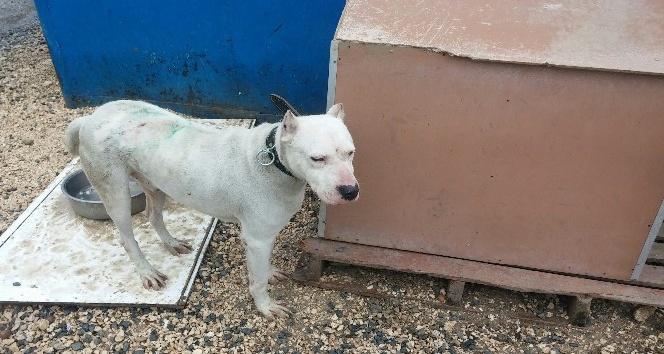 Dogo Argentino cinsi köpeği çalındı