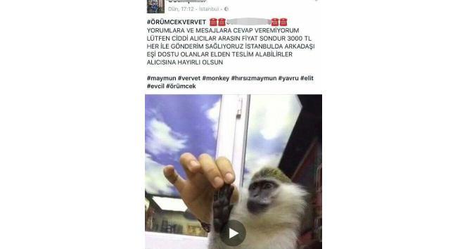 Yasadışı vervet cinsi maymun satan kişiyi yakalama anı kamerada